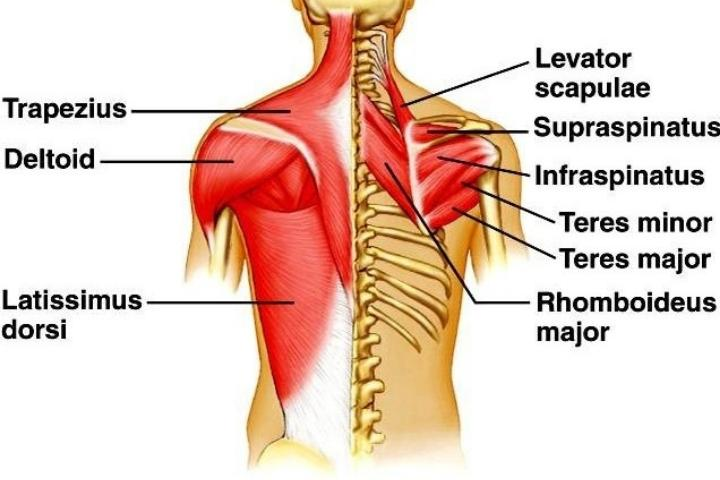 back strengthening exercises for seniors - The back muscles
